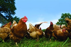 group-of-laying-hens-in-field_361_.jpg